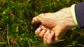 cowberry : Hiker Man collect lingonberry straight from the bush in the mountains. Close up. Raw food