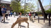 kansai : NARA, JAPAN - APRIL 30 : Smiling tourist kid feeding young sika deer at the park in Todai-ji temple, Nara is a major tourism destination in Japan at Todai-ji temple on April 30, 2017 in Nara, Japan Stock Footage