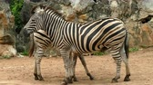 Two zebras standing close together in nature Stock mozgókép