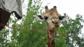 Portrait of giraffe sticking out tongue and licking lips Stock mozgókép