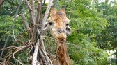 camelopardalis : Portrait of giraffe eating and licking chewing in Summer