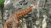 krk : Portrait of giraffe sticking out tongue and licking lips in nature