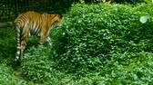 пантеры : Wild endangered big tiger walking near grass Стоковые видеозаписи