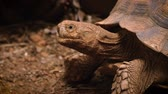 Close-up of African Spurred Tortoise or sulcata tortoise Stock mozgókép