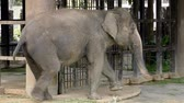 fildişi : Thai elephant walking with one foot tied to a chain