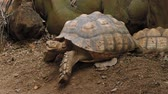 jardim zoológico : Close-up of African Spurred Tortoise or sulcata tortoise resting in the garden