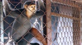 travel cage : Sad Red-shanked douc langur sit and looking out through the cage. Stock Footage
