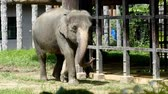 young elephants : Thai elephant walking with one foot tied to a chain