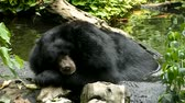 Asiatic Black Bear ( Ursus thibetanus, Himalayan Black Bear ) yawning sleeping and soak the water in the pool Vídeos