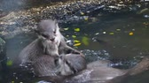 Small-clawed otter playing together in the pond