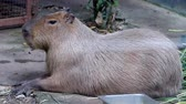 The giant brown capybara ( Hydrochaeris hydrochaeris ). Capybara is the worlds largest rodents.