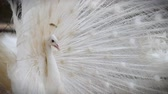 Close-up of beautiful white peacock with feather out Vídeos