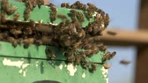 örgütlü : bee swarm just moved into a polystyrene apiary