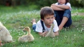 jardim de infância : Adorable preschool children, boy brothers, playing with little ducklings in a garden