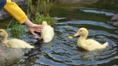 duck : Three little ducklings on a pond with flowers, little child playing with them Stock Footage