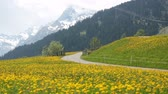 vitela : Beautiful spring landscape in Switzerland Alps with fields of dandelions, cows and rural life