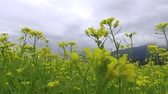 agriculture : walking through the Yellow rape field