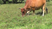 pasture : cow eating the grass on the farmland