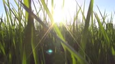 field : walking through the grass with sunlight