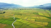 Aerial view of Beautiful Rice Fields in taitung . Stockvideo