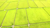 Aerial view of Beautiful Rice Fields in taitung . Stock Footage
