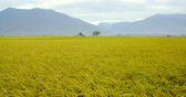 yellow : Beautiful Rice Fields in taitung . Taiwan