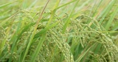 cair : Close up of yellow green rice field
