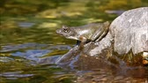 sapo : Frog crowing on a mountain stream stone