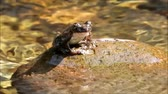 bystřina : Frog crowing on a mountain stream stone