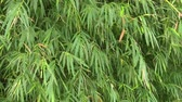 gałązka : bamboo leaves in nature