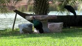 phasianidae : Peafowl or Peacock. A Peacock preens itself next to a decorative stone table while another bird stands on a boat in the shade of palm trees.