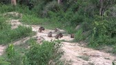 primitivo : Stumptail Monkeys Rare Footage - 5.  A troop of highly endangered Stumptail Monkeys Macaca arctoides leave the forest to visit an Elephant watering hole. This clip zooms out from the troop. Vídeos