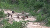 primitivo : Stumptail Monkeys Rare Footage - 6.  A troop of highly endangered Stumptail Monkeys Macaca arctoides leave the forest to visit an Elephant watering hole. This clip zooms out from the troop. Vídeos