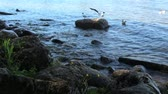 feathering : Lakeshore summer stones water birds Stock Footage