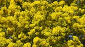akác : Yellow blooming of mimosa tree in spring Stock mozgókép