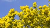 акация : Yellow blooming of mimosa tree in spring. Blue sky as a background