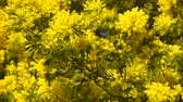 pólen : Yellow blooming of mimosa tree in spring Vídeos