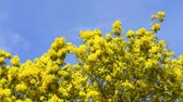 buquê : Yellow blooming of mimosa tree in spring. Blue sky as a background. Vídeos