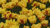 tulipany : Bright flowerbed in Keukenhof - famous Holland spring flower park