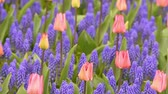 hyacint : Bright flowerbed in Keukenhof - famous Holland spring flower park