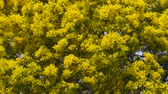 marchs financiers : Yellow blooming of mimosa tree in spring. Blue sky as a background