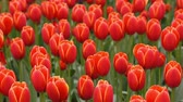 karma : Bright flowerbed in Keukenhof - famous Holland spring flower park