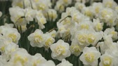 white narcissus : Bright flowerbed in Keukenhof - famous Holland spring flower park