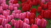 тюльпаны : Bright tulips flowerbed in Keukenhof - famous Holland spring flower park