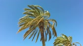 ráj : High palms swinging in the wind against a clear blue sky background