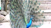 bażant : Portrait of beautiful peacock with feathers out. Close up of peacock showing its beautiful feathers. Male peacock displaying his tail feathers. Spread tail-feathers of peacock are dating.