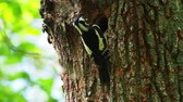 The great spotted woodpecker (Dendrocopos major) on the tree climbs into the hollow Archivo de Video