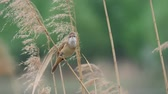 脊椎動物 : Great reed warbler (Acrocephalus arundinaceus) perched on reed stem against blurred green background and singing
