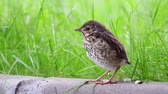 Closeup of song thrush chick perching on green grass at evening. Juvenile Song thrush want to sleep Archivo de Video