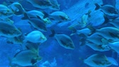branco di pesci : Close up of underwater blue sea fish swimming